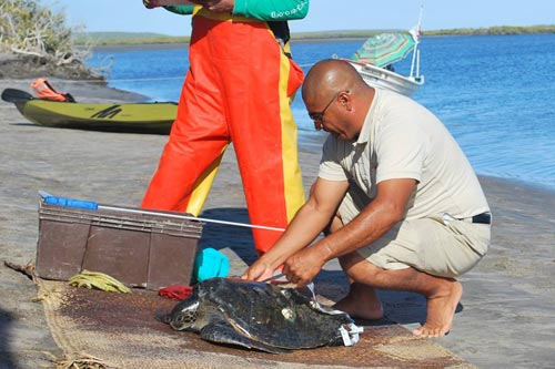 Examining Turtle on Beach